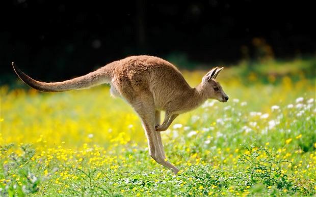 Con thú biểu tượng cho nước Úc