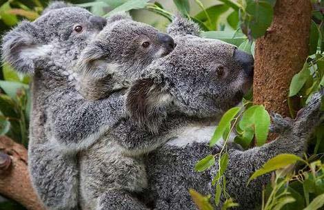 Những con thú biểu tượng của nước Úc