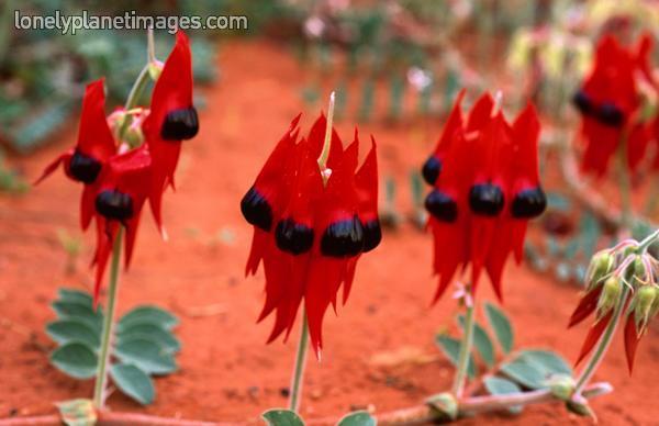 hoa biểu tượng cho nước úc